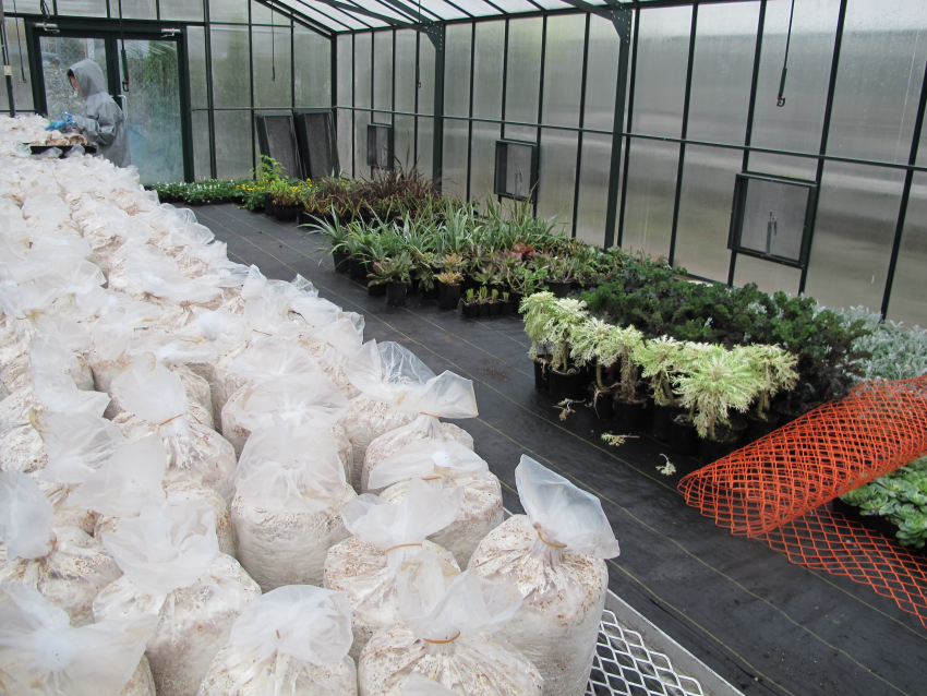 Cultivation of mycelium biocomposite, UBC Greenhouse.